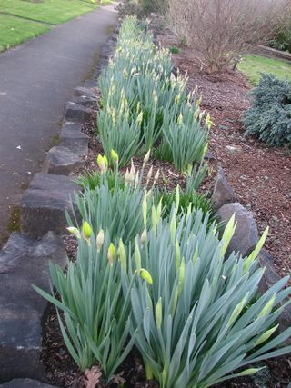 Budding Daffodils on Parade